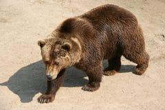 Een bruine beer leeft in een dierentuin in Frankrijk Stock Afbeelding