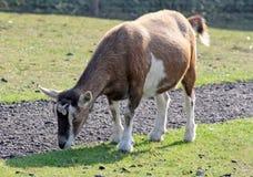 Een bruine geit Royalty-vrije Stock Afbeeldingen