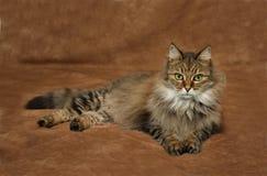 Een bruine gestreepte tijgerkat die op een bruine achtergrond liggen Royalty-vrije Stock Foto