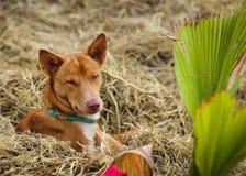 Een bruine hond Royalty-vrije Stock Afbeeldingen