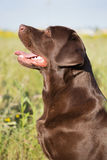 Een bruine hond van Labrador in de aard Stock Afbeelding