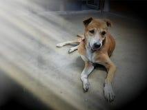 Een bruine hondslaap stil op de vloer stock afbeeldingen