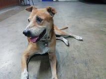 Een bruine hondslaap stil op de vloer royalty-vrije stock fotografie