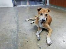 Een bruine hondslaap stil op de vloer stock fotografie