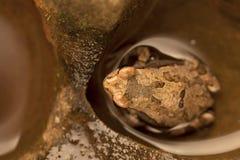 Een bruine kikkerzitting in water in de holten van een rots stock afbeeldingen