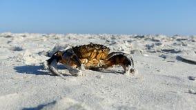 Een bruine krabvermommingen op het zandige strand van de Zwarte Zee in de zomer stock footage