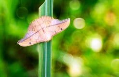 Een bruine mot op groene gras royalty-vrije stock afbeeldingen
