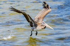 Een Bruine Pelikaan die Vlucht nemen Stock Foto's
