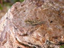 Een Bruine Sprinkhaan die op de Bruine Rots rusten Stock Fotografie