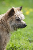 Een bruine terriërhond die en zich aan het recht bevindt kijkt Royalty-vrije Stock Fotografie