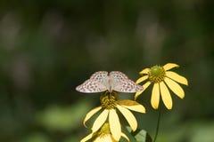 Een bruine vlinder op de Gouden Gloed stock foto