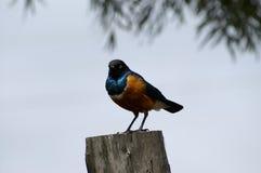 Een buitengewone Starling Stock Fotografie
