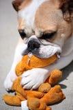 Een Buldog die op haar het kauwenstuk speelgoed kauwen stock foto