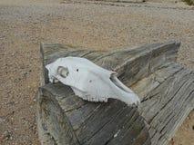 een bullskull op een boomstam royalty-vrije stock afbeelding