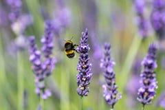 Een een Bumble Bij en Lavendel royalty-vrije stock fotografie