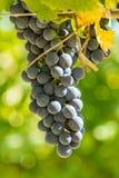 Een bunche van rode druiven Stock Afbeelding