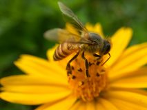 Een buzzy bij op een gele bloem Stock Foto's