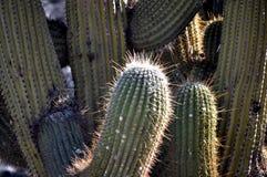 Een cactus Royalty-vrije Stock Foto