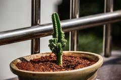 Een cactus in een pot royalty-vrije stock afbeeldingen