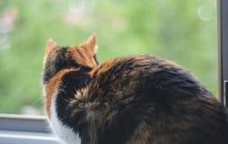 Een calico vrouwelijke kat op een venster Stock Foto