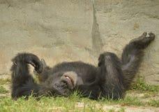 Een chimpansee die dwaas zijn royalty-vrije stock foto