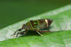 Een cicade Royalty-vrije Stock Fotografie