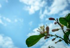 Een citroenboom in bloei royalty-vrije stock foto