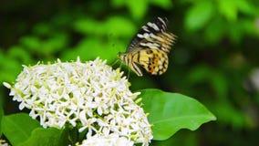 Een Clipper vlinder die witte Ixora-nectar eten. stock videobeelden