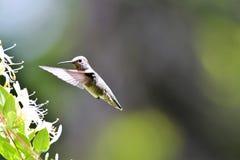 Een close-up die van Anna kolibrie dichtbij sommige bloemen hangen royalty-vrije stock afbeelding