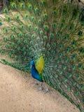 Een close-up mooie pauw spreidt in de loop van de dag zijn staart-veren in tuintijd uit Stock Fotografie