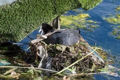 Een close-up van één enkele Koet die een nest bouwen stock foto