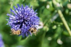 Een close-up van een bij verzamelt nectar op een bloem van de weidekorenbloem Stock Afbeeldingen