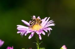 Een close-up van een bij verzamelt nectar op een Europees michaelmas-Madeliefje Stock Fotografie