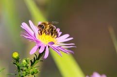 Een close-up van een bij verzamelt nectar op een Europees michaelmas-Madeliefje Stock Foto's