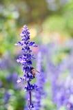 Een close-up van blauwe salviabloem Royalty-vrije Stock Foto's