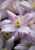 Een close-up van een clematissenbloem Royalty-vrije Stock Fotografie