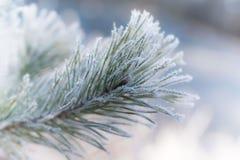 Een close-up van de berijpte tak van de pijnboomboom Royalty-vrije Stock Foto