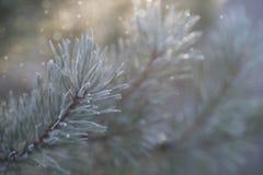 Een close-up van de berijpte tak van de pijnboomboom met licht bokeh Royalty-vrije Stock Foto