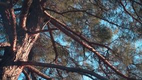 Een close-up van de boomstam en de grote takken van een oude pijnboomboom met kegels tegen een duidelijke blauwe hemel Oude pijnb stock video