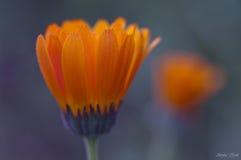 Een close-up van de knop van de calendulabloem van zijaanzicht Royalty-vrije Stock Afbeelding