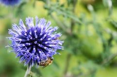 Een close-up van een bij verzamelt nectar op een bloem van de weidekorenbloem Royalty-vrije Stock Afbeelding