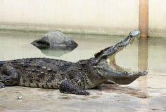 Een close-up van een krokodil met open kaken Stock Fotografie