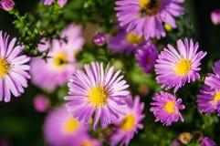 Een close-up van Europese michaelmas-Madeliefje bloemblaadjes Stock Foto