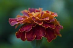 Een close-up van goudsbloembloem Stock Fotografie