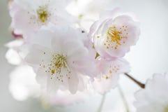 Een close-up van Japanse sakura van de kersenbloesem Royalty-vrije Stock Afbeeldingen