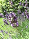 Een close-up van een lavendelbloem royalty-vrije stock afbeeldingen
