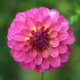 Een close-up van levendige roze dahliabloem Stock Foto