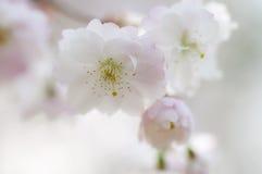 Een close-up van mooie Japanse sakura van de kersenbloesem Royalty-vrije Stock Afbeelding
