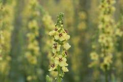 Een close-up van Mullein-bloem op vage mullein weideachtergrond Royalty-vrije Stock Afbeeldingen