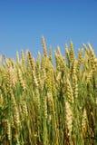 Een close-up van stelen van gouden tarwe op een gebied. Stock Afbeelding